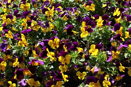 colorful pansies in the garden Archivio Fotografico - 121535762