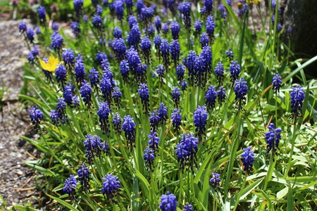 grape hyacinth in the garden