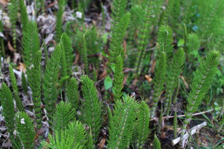 field of horsetails in the forest