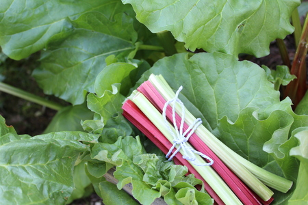 colorful delicious rhubarb in the garden Imagens