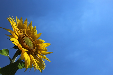 Sunflower in front of the blue sky