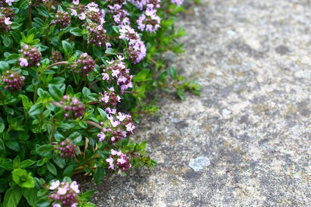blossoming thyme in the garden 版權商用圖片
