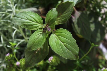 basil in a herb basket