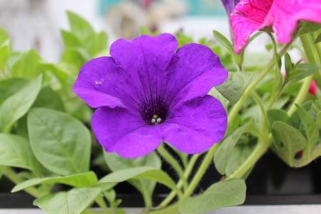 Petunia in the garden Stock Photo