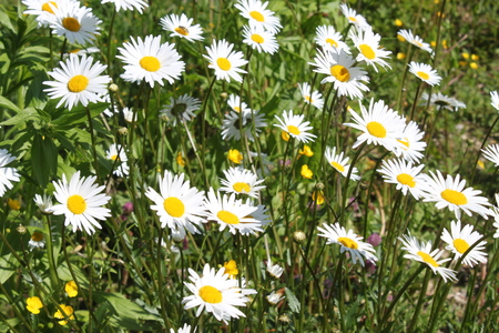 Many marguerites in the garden