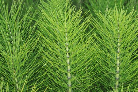 Field of horsetails in the forest Stock Photo
