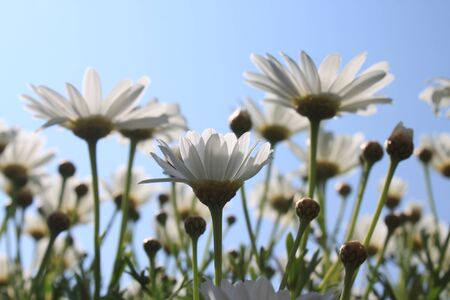 Marguerites in front of the blue sky Stock Photo