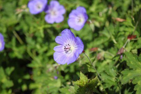 Blue geranium in the garden