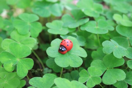 Wooden ladybird and clover in the forest