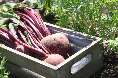 Beetroot in the summer in the garden