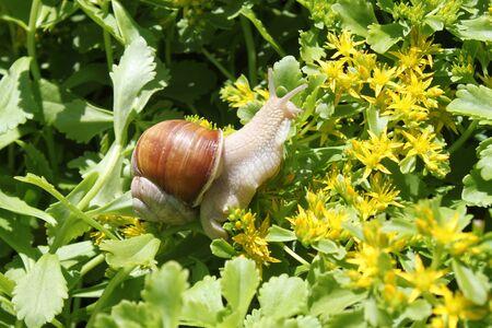 Vineyard snail in yellow flowers