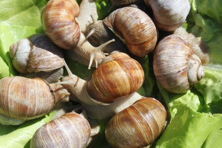 Vineyard snails in the salad Stock Photo
