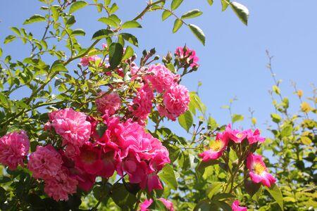 Belles roses roses dans le jardin