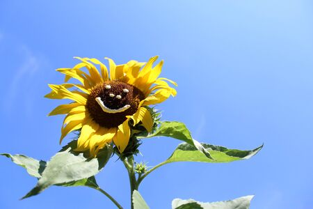 Sun flower with a funny face 写真素材