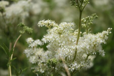 Blossoming meadowsweet in the meadow 免版税图像