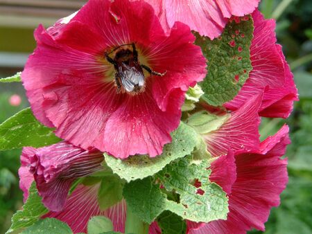 Bumblebee in a pink blossoming hollyhock