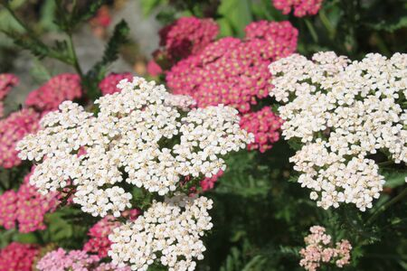 Pink and white blossoming yarrow in the garden
