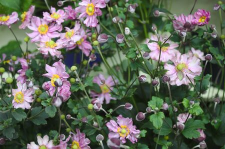 Pink thimbleweed in the garden