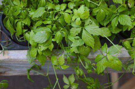 Healthy jiaogulan in the garden