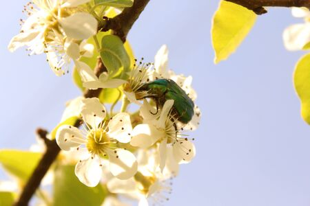 Rose chafer in a pear tree blossom