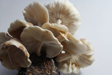 Shiitake on a mushroom substrate