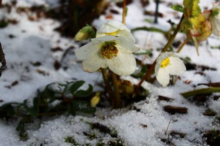 Christmas rose in the snow in the winter