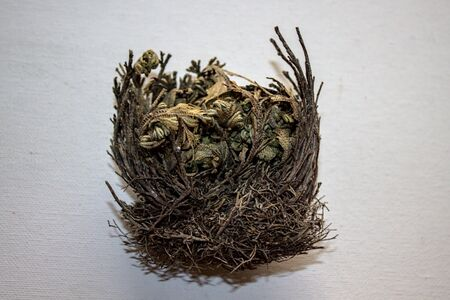 Rose of Jericho on a white background