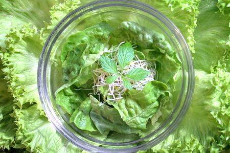 Fresh green salad with jiaogulan and sprouts