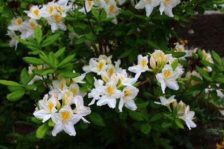 Beautiful azalea in the garden Zdjęcie Seryjne