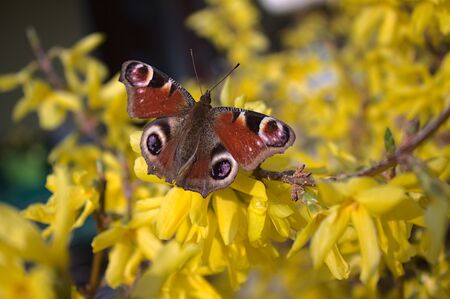 Peacock butterfly on a forsythia
