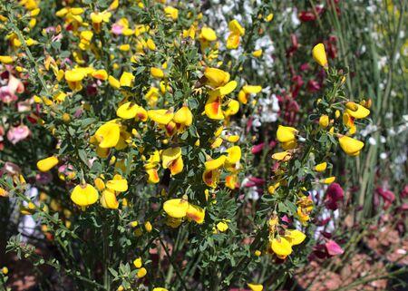 Papilionaceous flower in the garden
