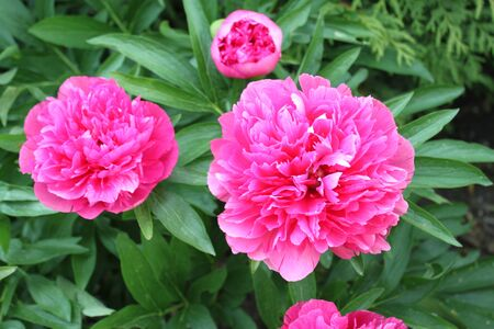 Pink peony in the garden