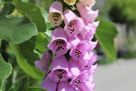 Foxglove in the summer in the forest