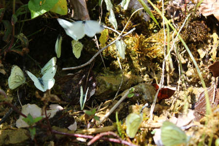 many large cabbage whites on damp ground Banque d'images