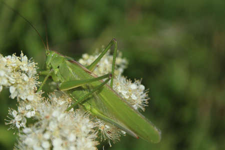 bush cricket on a blossoming meadow sweet Banque d'images