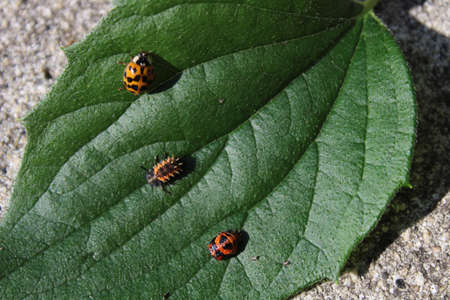 ladybird in tree stages of development on a leaf