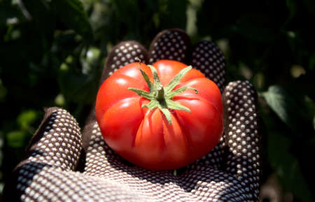 a tomato in a hand with gloves