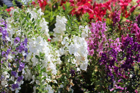blossoming larkspur in the garden Stock Photo