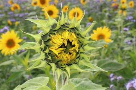 sunflower in a field with blue flowers