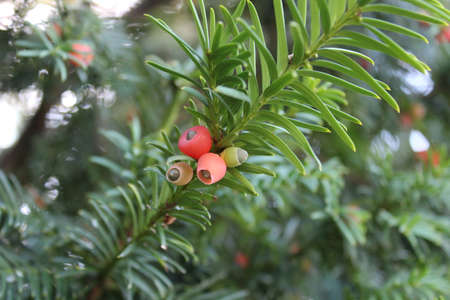 a yew tree with seeds