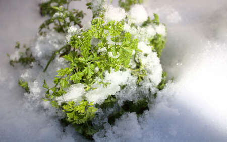 Parsley covered with snow in the winter