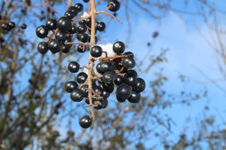 dogwood with berries in the winter Archivio Fotografico