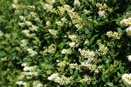blossoming privet in the garden