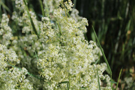 white bedstraw in a meadow