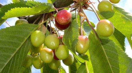 unripe cherries on a cherry tree