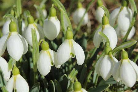 snowdrops in the meadow in the winter