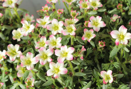 blossoming saxifrage in the garden