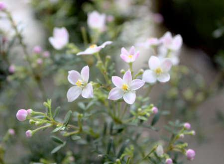 blossoming boronia in the spring
