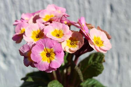 pink primrose in the garden Archivio Fotografico