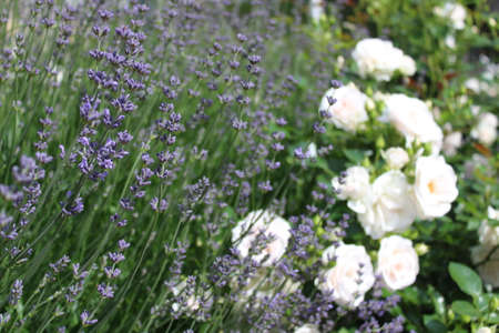 white roses and lavender in the garden